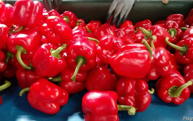 Купить перец оптом. Экспорт свежих овощей из Испании.