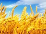 Пшеница, 2-й, 3-й класс, FOB Бердянск. - photo 1