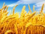 Пшеница, ячмень, кукуруза , фуражное - фото 1