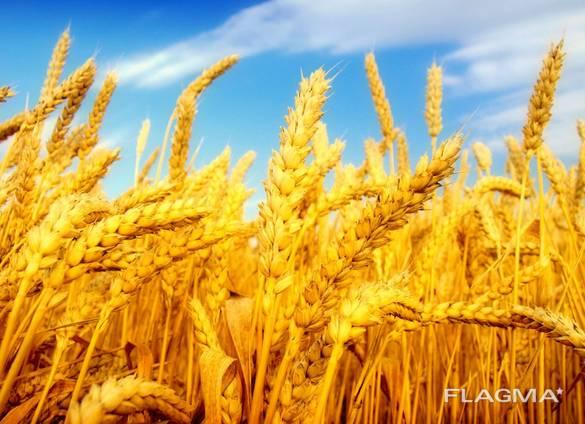Пшеница, ячмень, кукуруза , фуражное